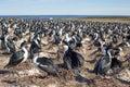 Imperial Cormorant Imperial Shag colony, Falkland Islands. Royalty Free Stock Photo