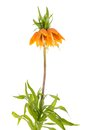 Imperial Crown (Fritillaria Imperialis) isolated on white background Royalty Free Stock Photo