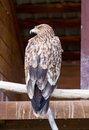Imperial eagle aka aquila heliaca in zoo Royalty Free Stock Images