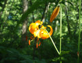 Imperial lily the flower of orange color is heated on the sun in the wood Stock Images