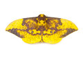 Imperial moth eacles imperialis on a white background Royalty Free Stock Images