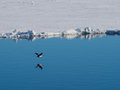 Imperial shag cormorant flying over Ice Floe in Antarctica Royalty Free Stock Photo