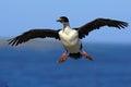 Imperial shag phalacrocorax atriceps cormorant in flight dark blue sea and sky falkland islands antarctica Stock Image
