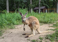 Imported young australian kangaroo in american zoo field Stock Photo