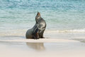 Imposing male of sea lion on the sand in santa fe island galapagos ecuador Royalty Free Stock Images