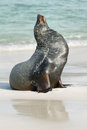 Imposing male of sea lion on the sand in santa fe island galapagos ecuador Stock Photography