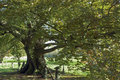 Imposing old oak tree in summer Royalty Free Stock Image