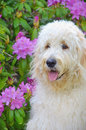 Impressionism of a goldendoodle dog in rhododendron garden with impressionistic effect Royalty Free Stock Photography