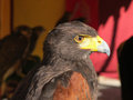 Impressive aguila imperial of brown color Stock Photography