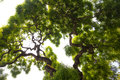 Impressive green crown of tall large elm tree with gnarled tw beautiful view up into the canopy a very long twisted branches reach Royalty Free Stock Photography