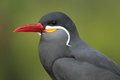 Inca tern Royalty Free Stock Images