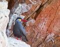 Inca Tern Stock Photo