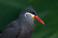 Inca Tern Royalty Free Stock Photo