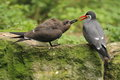 Inca tern the couple of terns Stock Images