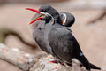 Inca tern the is identified by its red beak and feet and white mustache Royalty Free Stock Image