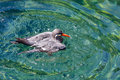 Inca tern larosterna inca bathing Stock Photo