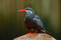 Inca Tern, Larosterna inca, bird on the stone. Tern from Peruvian coast. Bird in the nature sea habitat. Wildlife scene from natur Royalty Free Stock Photo