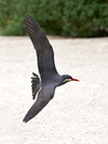 Inca tern larosterna inca closeup of a in fligt at the beach Royalty Free Stock Images