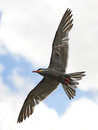 Inca tern larosterna inca in flight with clouds in the background Stock Images