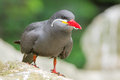 Inca tern larosterna inca portrait of an Royalty Free Stock Photography