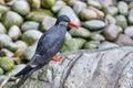 Inca tern larosterna inca resting on a rock Royalty Free Stock Photo