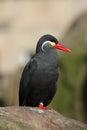 Inca tern larosterna inca sat on a rock in a zoo Stock Photos
