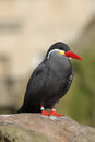 Inca tern larosterna inca sat on a rock in a zoo Royalty Free Stock Images
