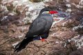Inca tern larosterna inca spotted outdoors in the wild Royalty Free Stock Photography