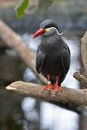 Inca tern the larosterna is a seabird in the family sternidae it is the only member of the genus larosterna Stock Photos