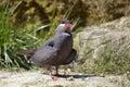 Inca tern perched on ground larosterna Stock Image