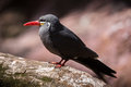 Inca tern perched on a tree the larosterna can be identified by its dark grey body white moustache and red orange Royalty Free Stock Photo