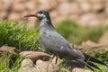 Inca tern portrait of an on a rock Stock Image