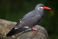 Inca tern x larosterna inca x wildlife animal Royalty Free Stock Image