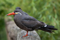 Inca tern x larosterna inca x wildlife animal Stock Image