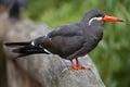 Inca tern x larosterna inca x wildlife animal Stock Photos