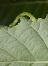 Inchworm on birch leaf macro of measuring worm crawling Royalty Free Stock Photos