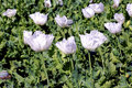 India, Bijaipur: Opium poppy field Royalty Free Stock Image
