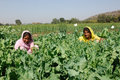 India,  Indian woman working in opium field Stock Photography