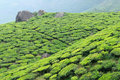 India kerala tea plantation in the cardamam mountains Royalty Free Stock Images