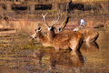 India, Ranthambore: Deers Stock Image