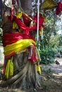 In India sacred Bodhi Pipal tree Royalty Free Stock Photo
