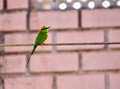 Indian bee eater or merops orientalis bird sitting on electric cable and looking back Stock Image