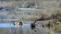Indian bengal tiger in népal bardia national park panthera tigris tigris Stock Photo