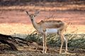 Indian Black Buck Antelope Stock Images