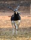 Indian Black Buck Antelope Stock Photography
