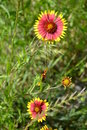 Indian blanket flower two lone flowers in the midst of a feild Stock Image