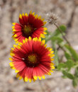 Indian Blanket Flowers Royalty Free Stock Photography