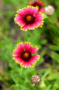Indian Blanket flowers Royalty Free Stock Photo
