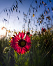Indian blanket wildflower flowers backlit by spring sunshine in texas Royalty Free Stock Photos