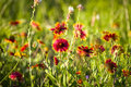 Indian blankets wildflower field at dawn on a spring day in texas Royalty Free Stock Image